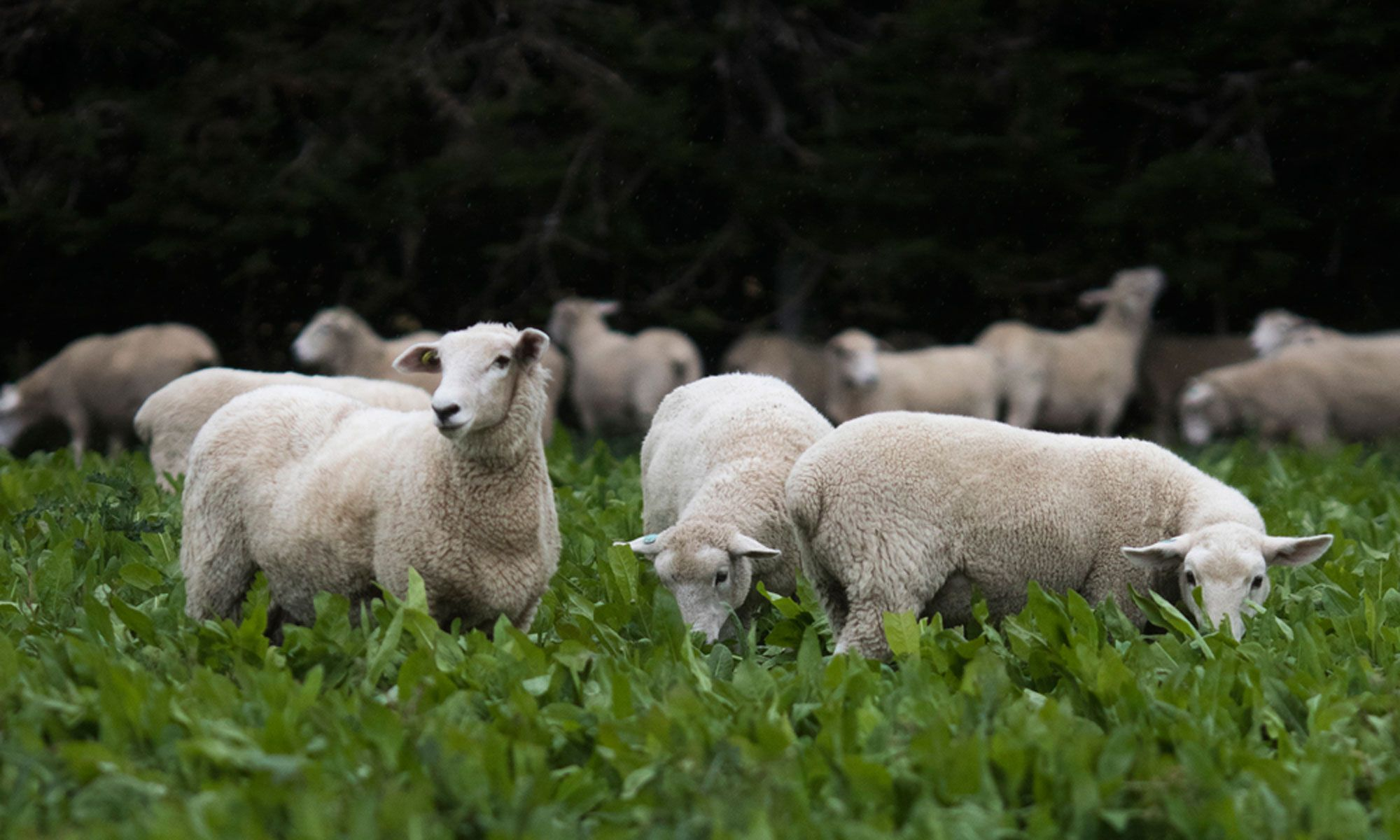 Te Mana Farm In New Zealand Ethically Raises New Breeds Of Sheep