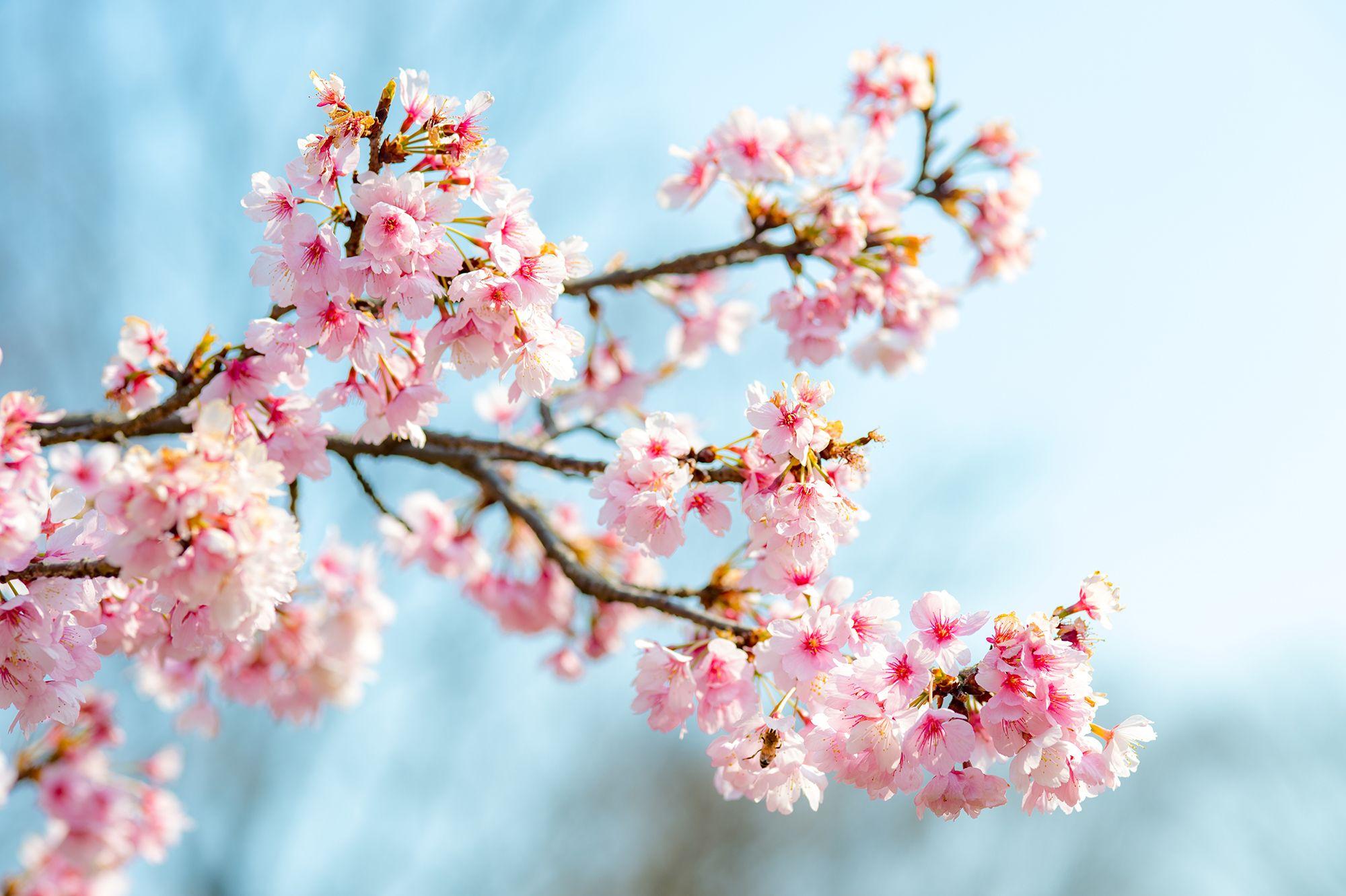 It's Sakura Time At Aqua