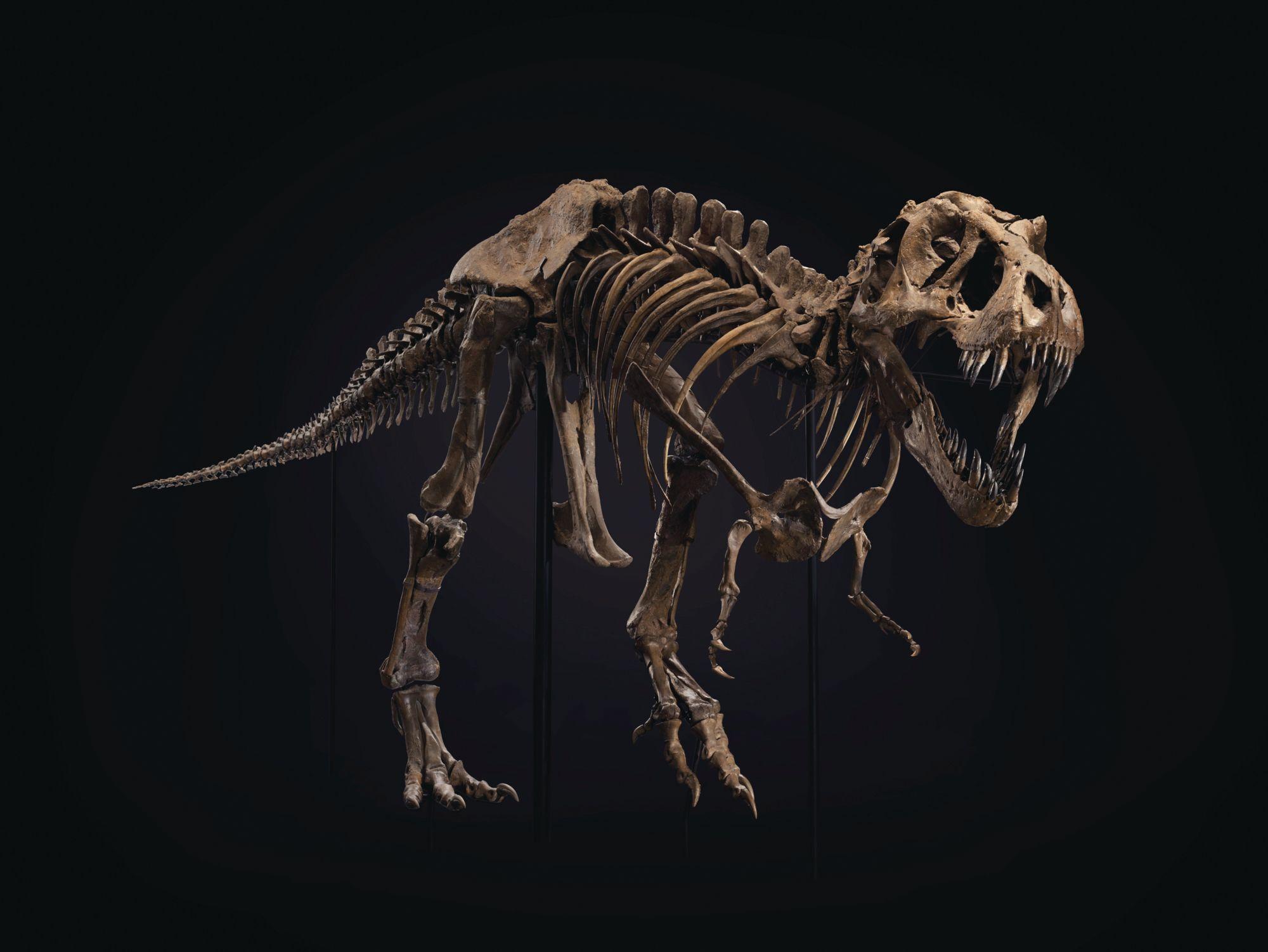 Stan的頭骨被認為是有史以來保存最完好的暴龍頭骨。