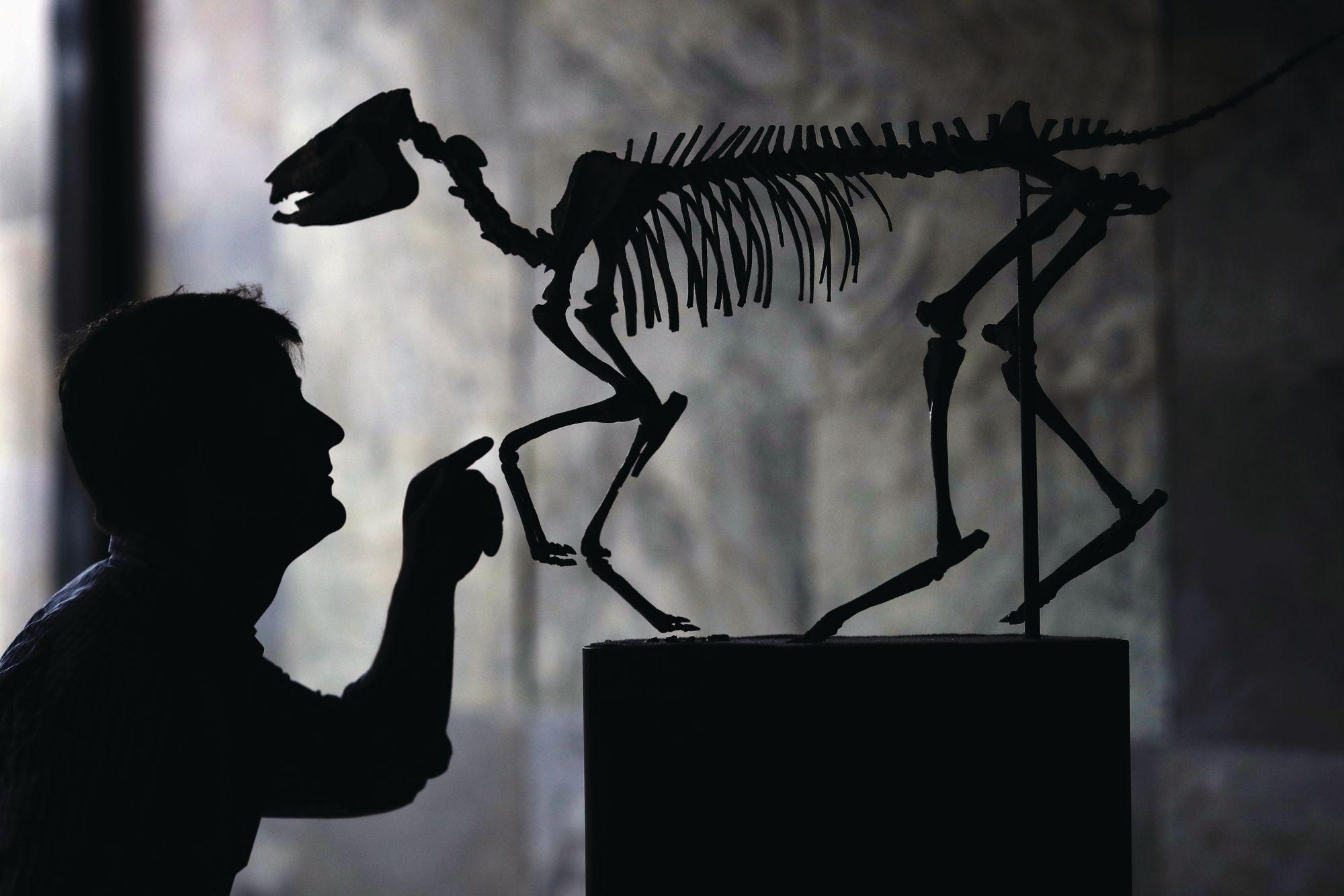 拍賣行員工在一場由薩默斯廣場拍賣行( Summers Place Auction House)舉辦的化石拍賣會前,準備始祖馬(eohippus)的標本。(Photo: Dan Kitwood/Getty Images)