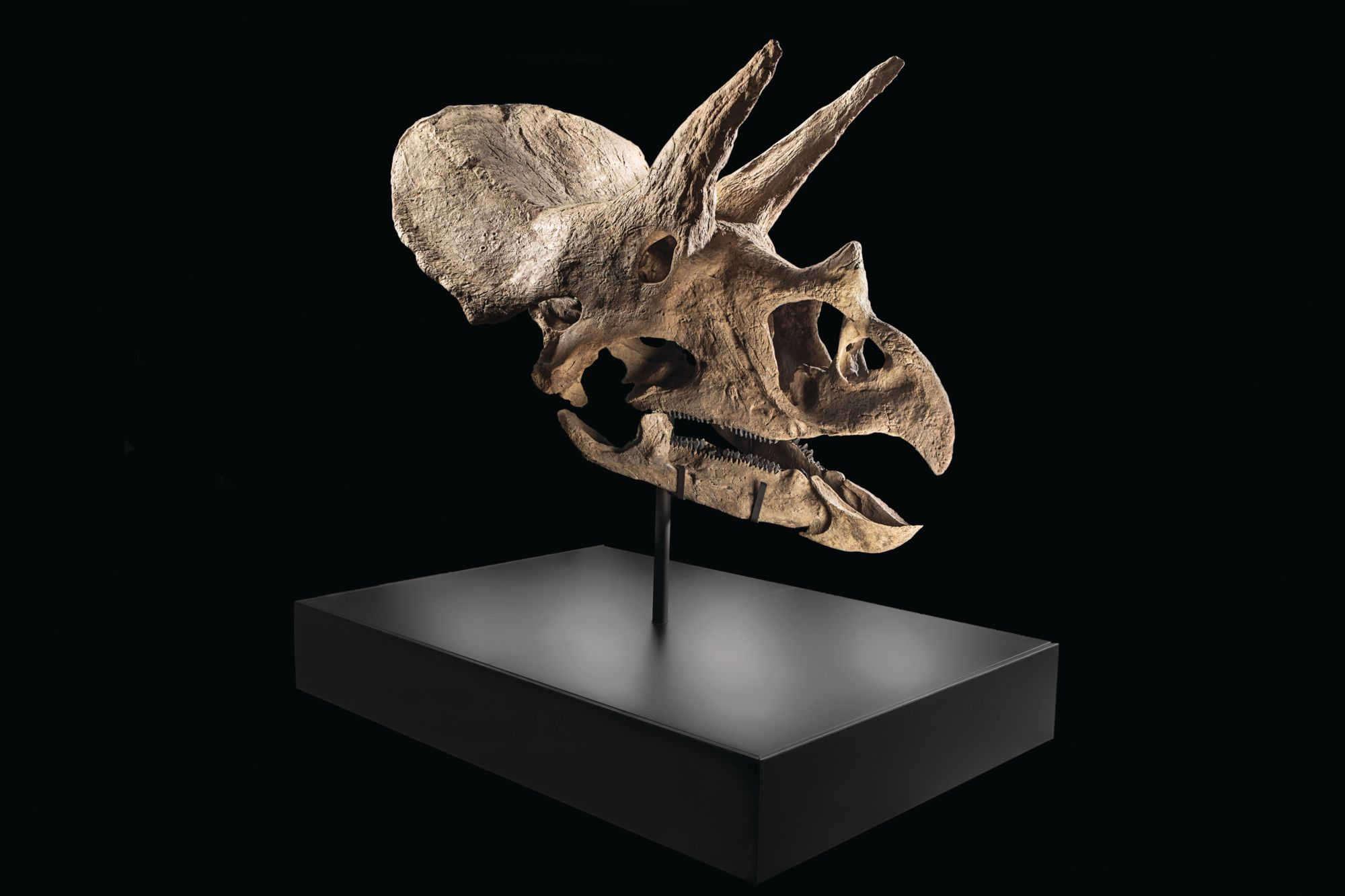 2017年,一個三角龍頭骨由中國收藏家以20萬歐元買下。