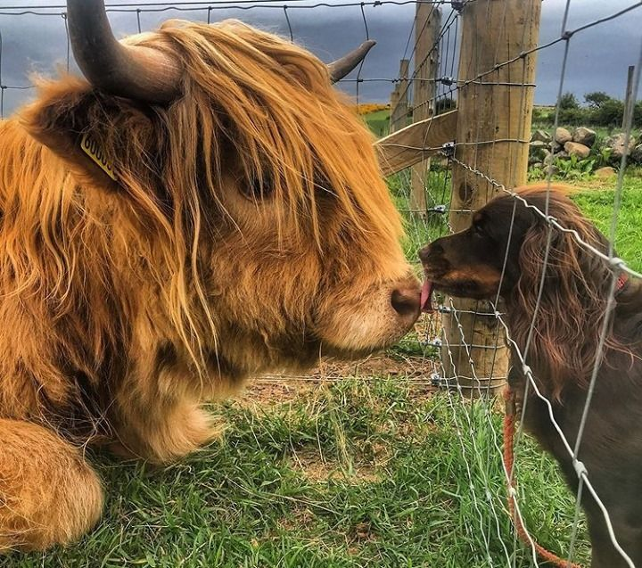 Scotland's Fluffy Cows Should Be On Your Bucket List––In The Meantime, You Can Watch Them Here