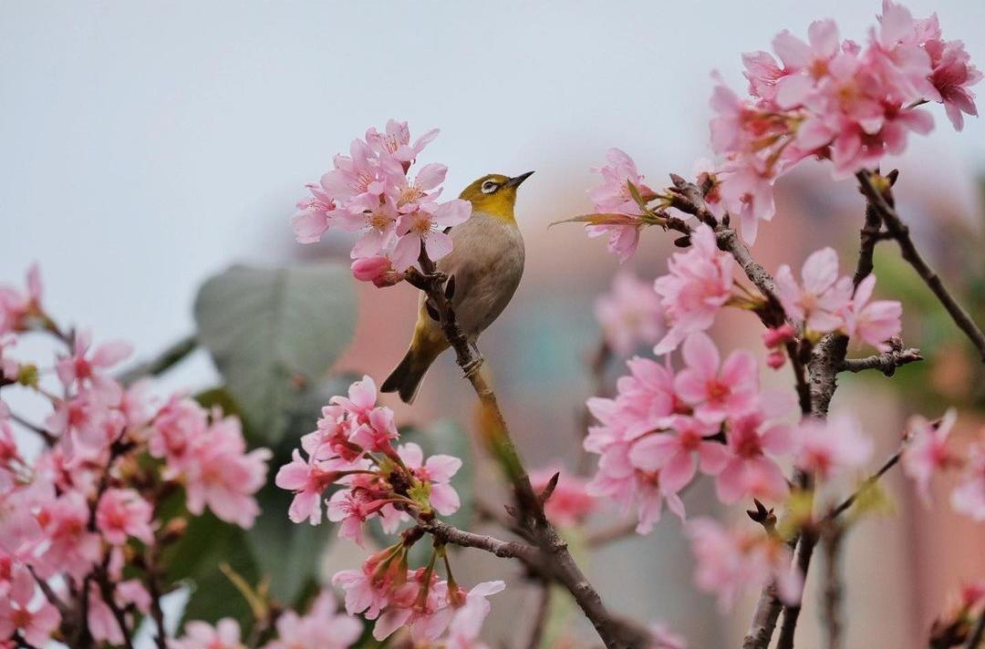 7 Cherry Blossom Spots To Visit In Hong Kong Tatler Hong Kong