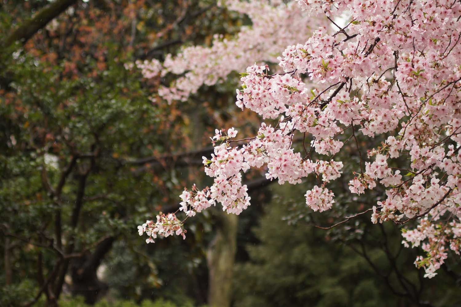 Cherry Blossoms In Malaysia Where To See Them This Month Tatler Malaysia
