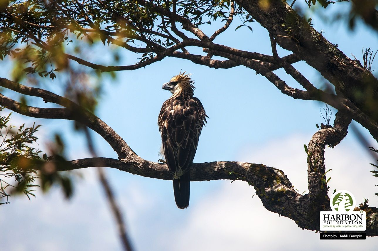 Law to Protect the Philippine Eagle Awaits Final Signature