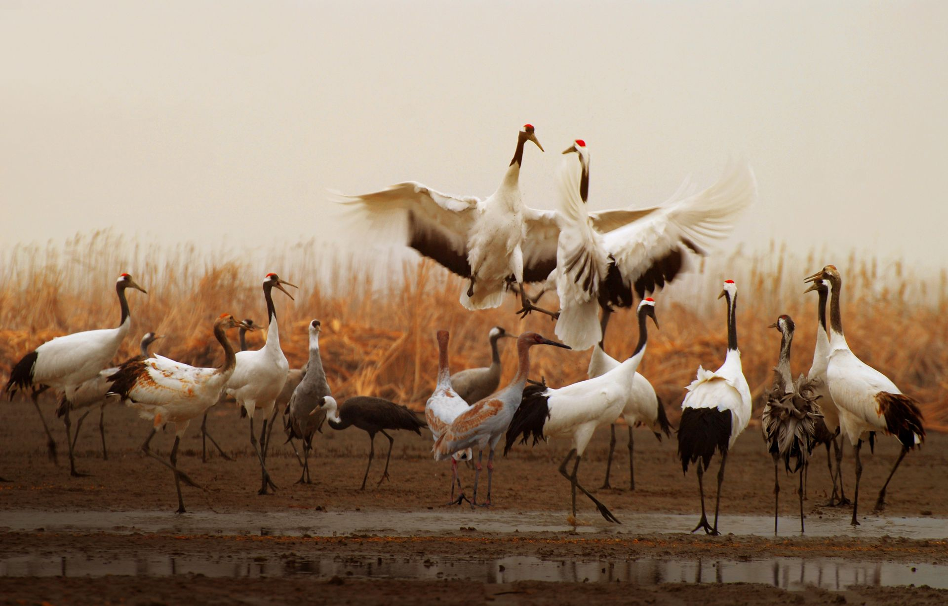 Red-crowned Cranes resting at the Migratory Bird Sanctuaries along the coast of Yellow Sea-Bohai Gulf of China, Phase I | Photo from Yangcheng Broadcasting Television