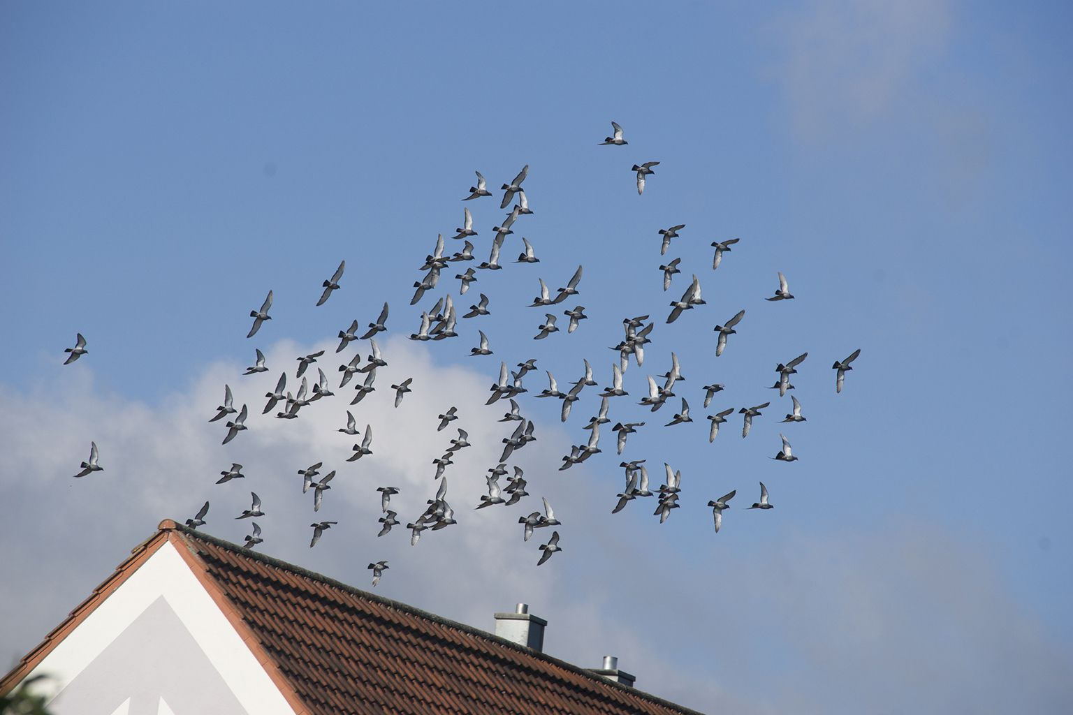 Flying racing pigeon on their daily training flight on a house roof..