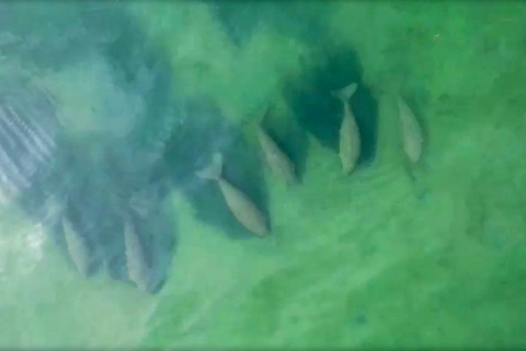 Herd of Dugong Spotted Off the Coast of Thailand's Ko Libong