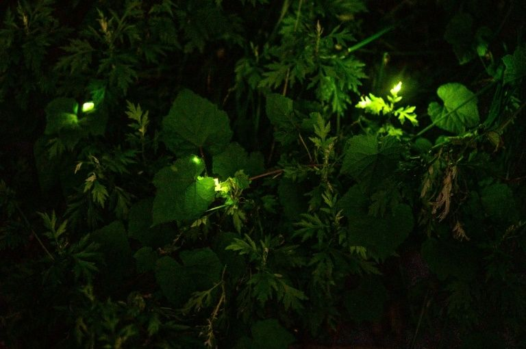 Fireflies Light Up Japanese Town In Hyogo Prefecture