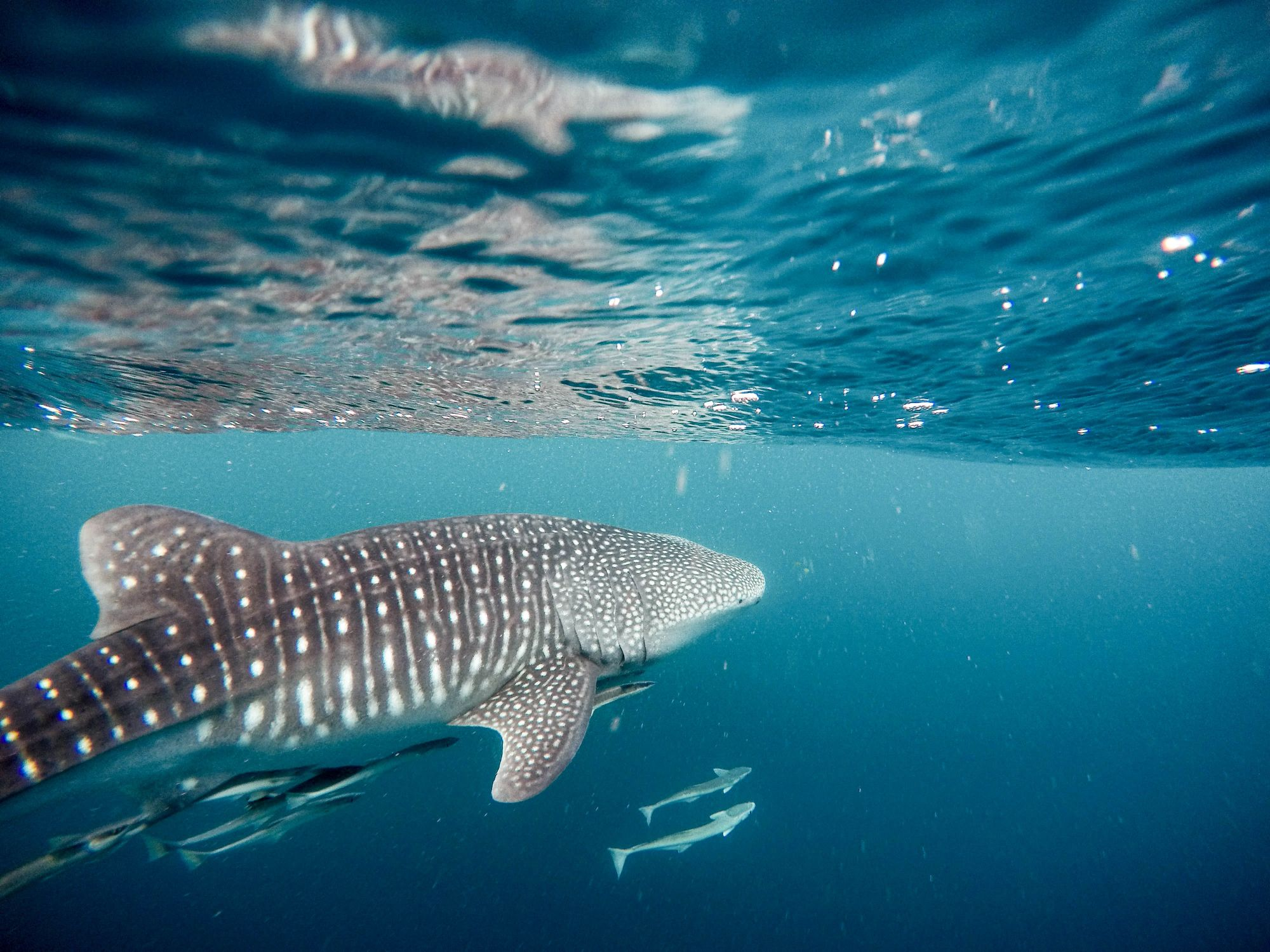 Good News: 19 New Whale Sharks Have Been Spotted Off The Coast Of Donsol, Sorsogon