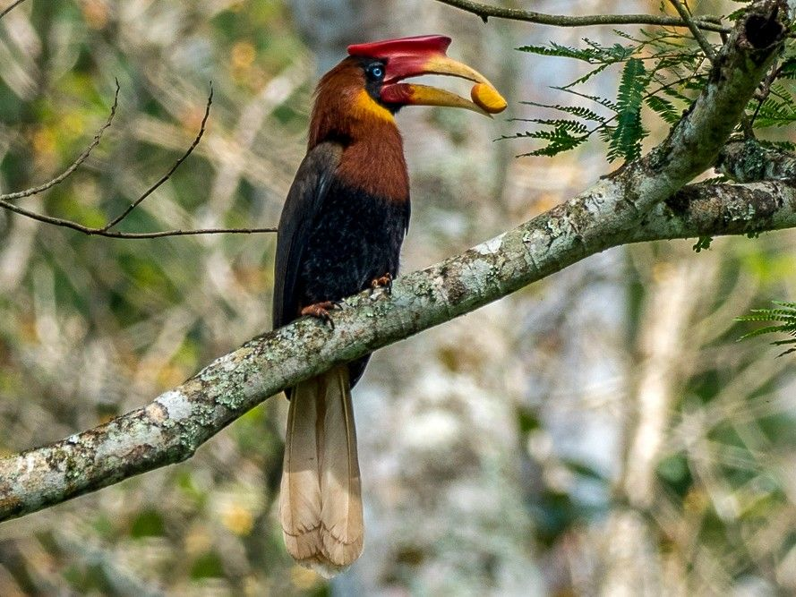 The Rufous Hornbill that is endemic to the Philippines    Photo: Ebird Org