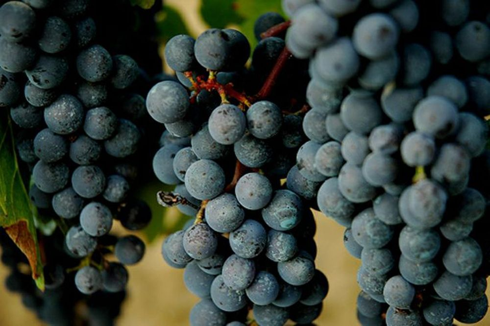 Cabernet Sauvignon: A Truly Great Grape