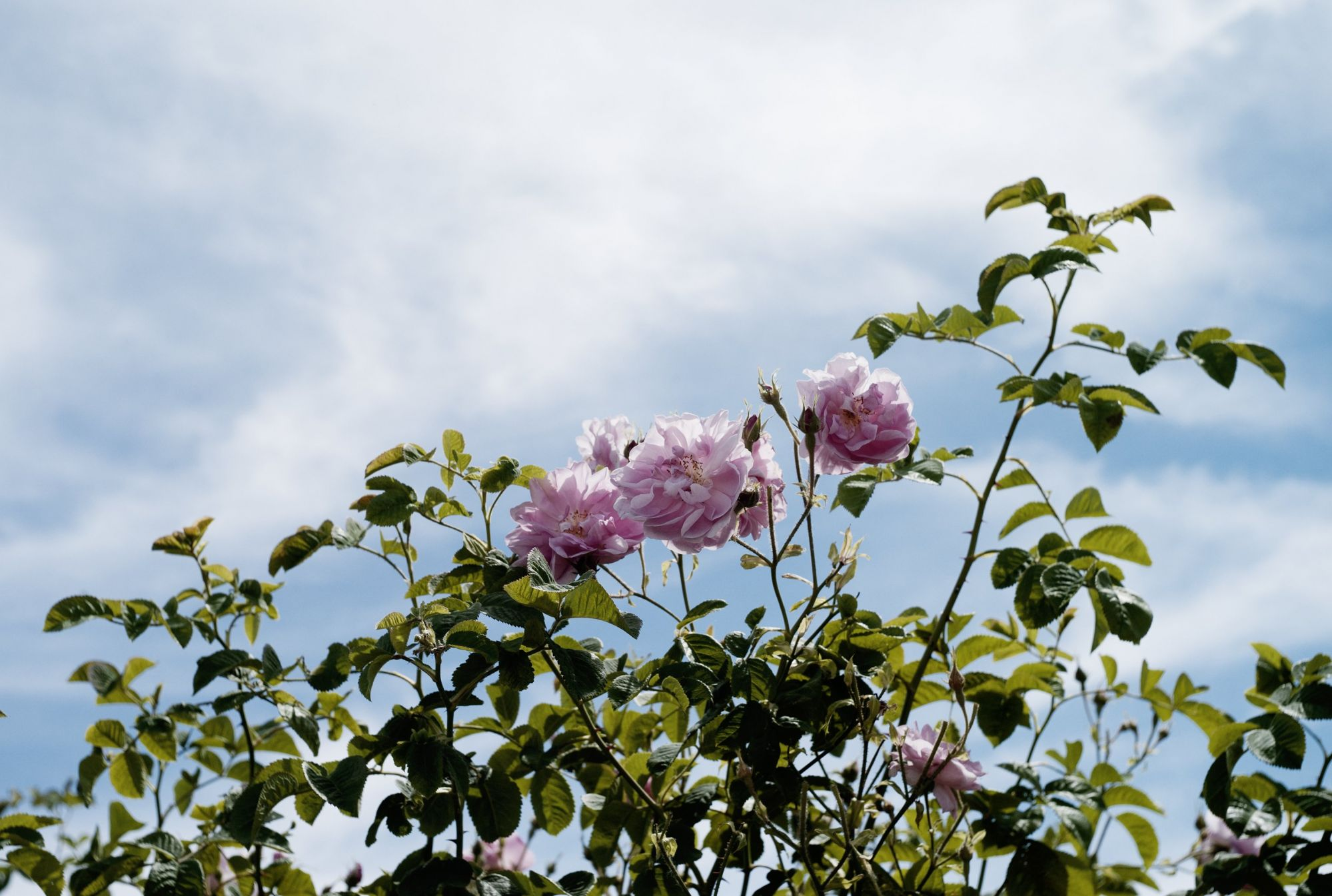 May Rose: Discover The Key Ingredient Behind Chanel No. 5