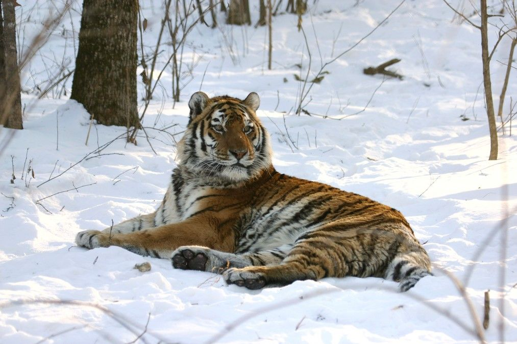 The endangered Siberian Tiger that 2012 Rolex Awards laureate Sergui Bereznuk strives to save