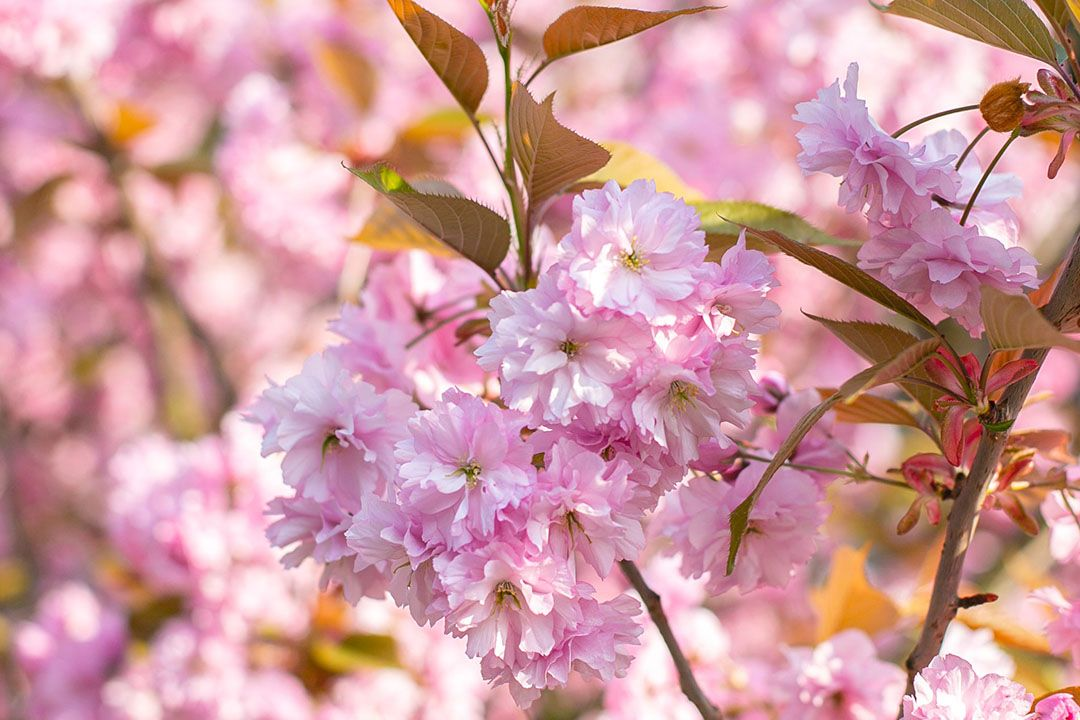 Sakura trees in bloom in Japan (Image: Unsplash)