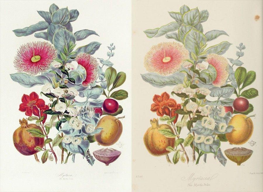 19 世紀「植物圖鑑」線上免費閱覽!數位修復逾 700 種植物製成精美網頁版