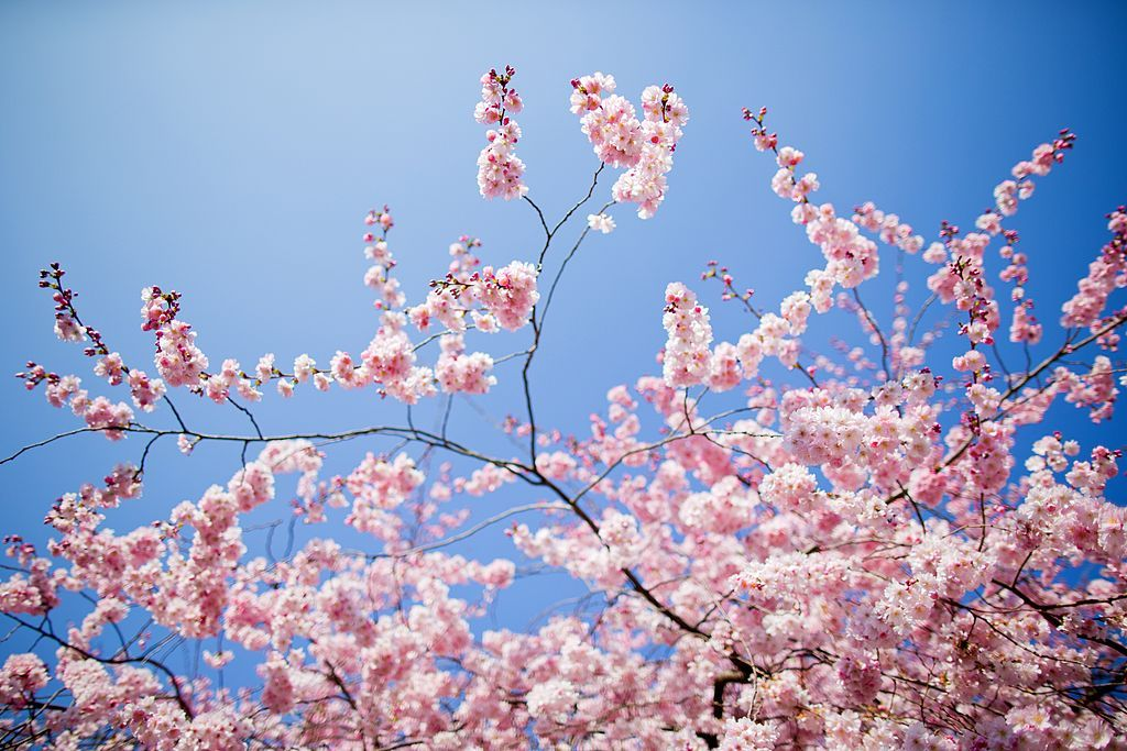 Flowering cherries stand in full bloom on March 12, 2014 in Muenster, western Germany. Spring brought a warm and sunny day to wide parts of the country.             AFP PHOTO / DPA / ROLF VENNENBERND / GERMANY OUT        (Photo credit should read ROLF VENNENBERND/DPA/AFP via Getty Images)