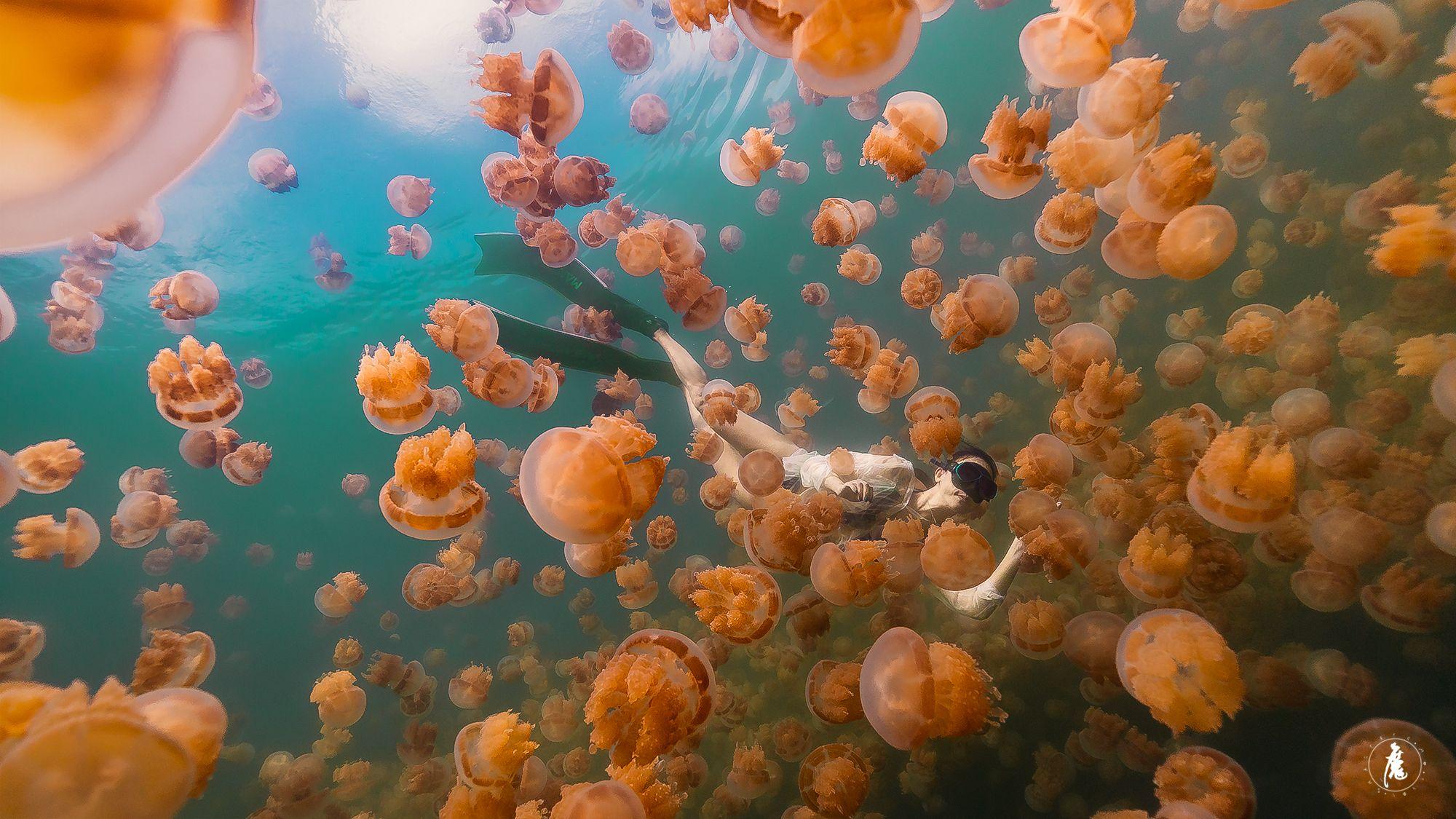 帛琉水母湖為什麼無毒? 3 分鐘帶你認識這全球罕見自然奇景