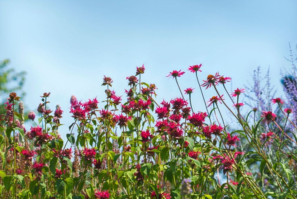 Colorful pink flowers in the garden on bright blue sky background. Beautiful flower in nature, selective focus. (Photo by: Anjelika Gretskaia/REDA&CO/Universal Images Group via Getty Images)