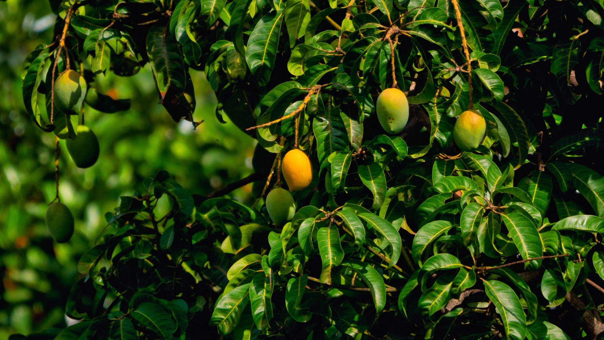 小暑時節盛產芒果。(Photo by Rajendra Biswal on Unsplash)