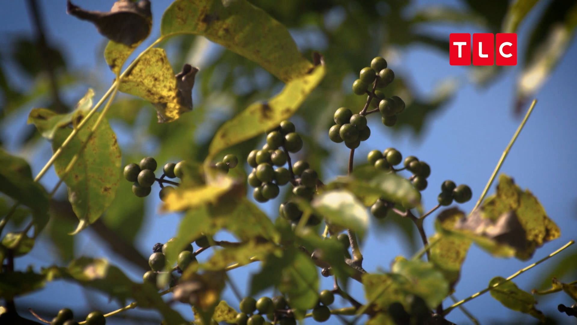 「黃柏」是一種帶有柑橘類風味與胡椒苦味的特別水果,在愛奴料理中有神聖地位。