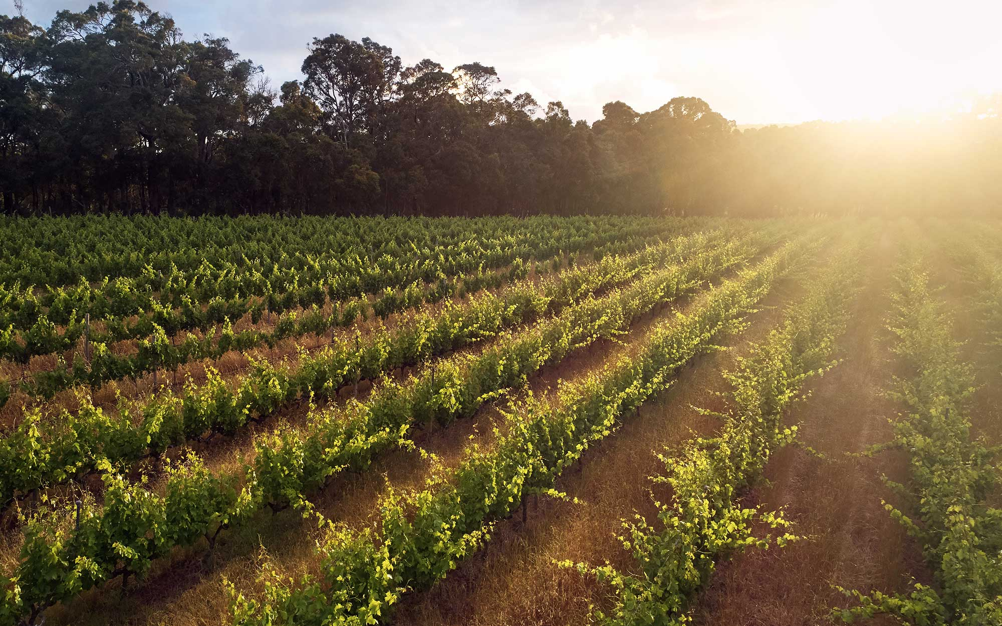 Cape Mentelle's sprawling vineyards in Western Australia. Photo: Courtesy of Cape Mentelle.