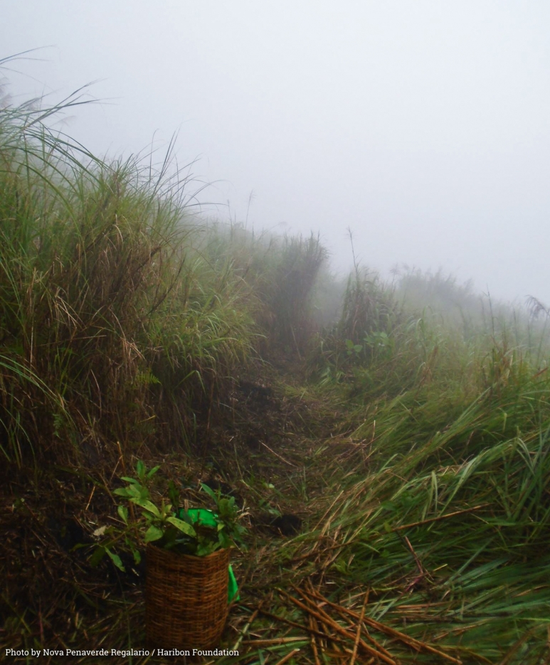 Native tree seedlings such as Malaruhat, Guijo, Ilang-Ilang, and the Bolong-eta await planting as low-lying clouds pass over Mt San Cristobal photo by 'Super' Nova Regalario.jpg