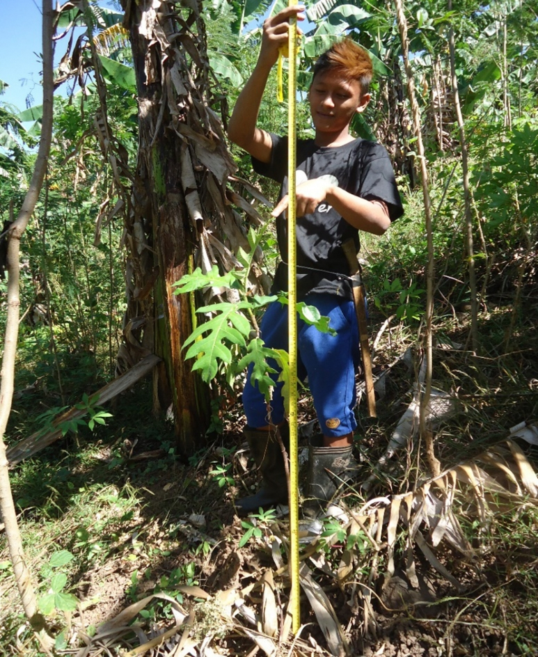 The height of an Antipolo tree Artocarpus blancoi is recorded by a Peoples Organization member during regular maintenance visits of tree planting sites.jpg